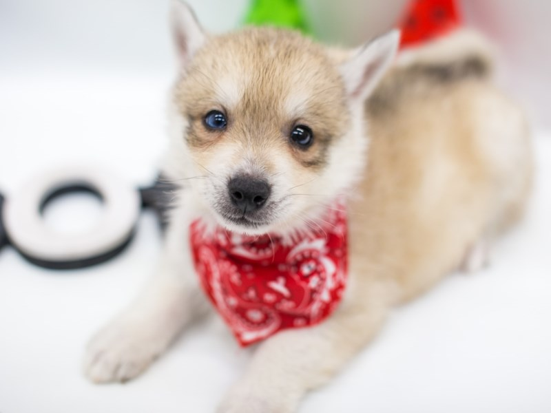 Pomsky-Male-Cream Sable-2694843-Petland Wichita, KS