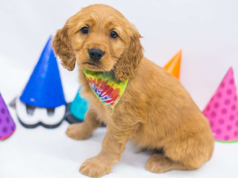 Mini Golden Retriever-Male-Red-2695396-Petland Wichita, KS