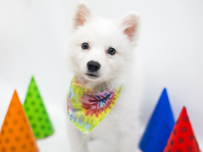 American Eskimo-Male-White-2702240-Petland Wichita, KS