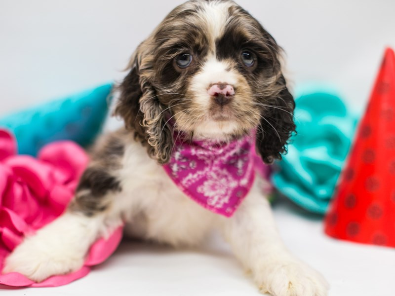 Cocker Spaniel-Female-Chocolate Merle-2702197-Petland Wichita, KS