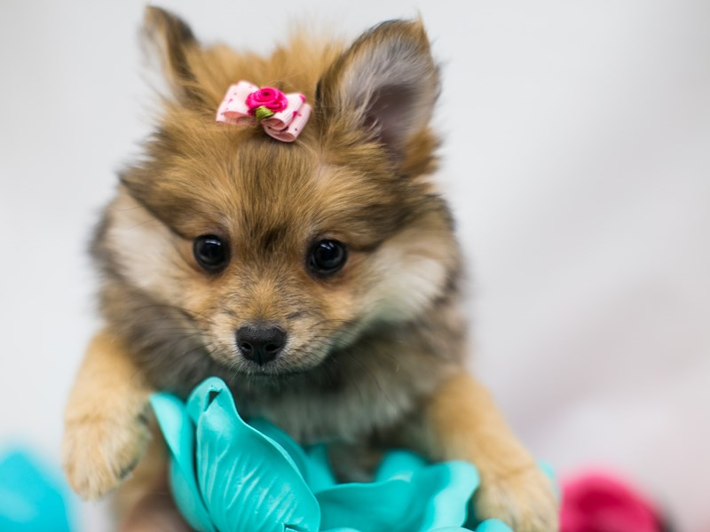 Pomeranian-Female-Sable-2701671-Petland Wichita, KS