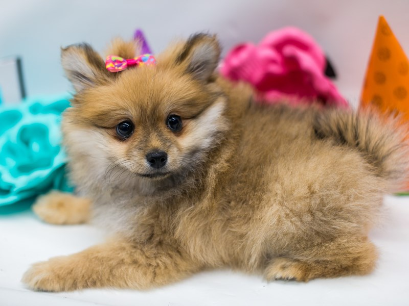 Pomeranian-Female-Sable-2701669-Petland Wichita, KS