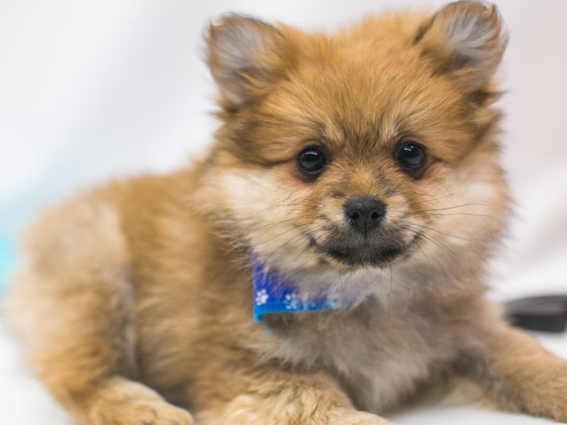 Pomeranian-Male-Sable-2701666-Petland Wichita, KS