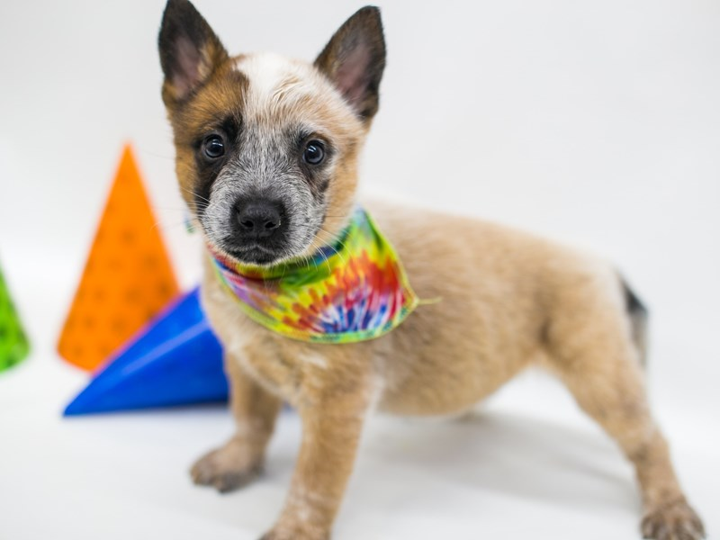 Australian Cattle Dog-Male-Red-2701533-Petland Wichita, KS