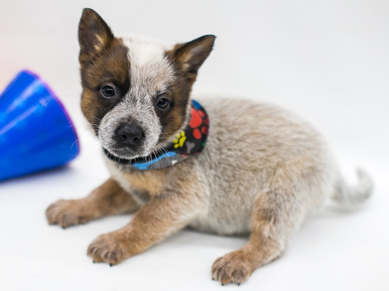 Australian Cattle Dog-Male-Red-2701527-Petland Wichita, KS