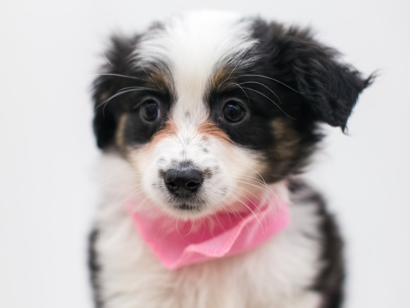 Miniature Australian Shepherd-Female-Black Tri-2700914-Petland Wichita, KS