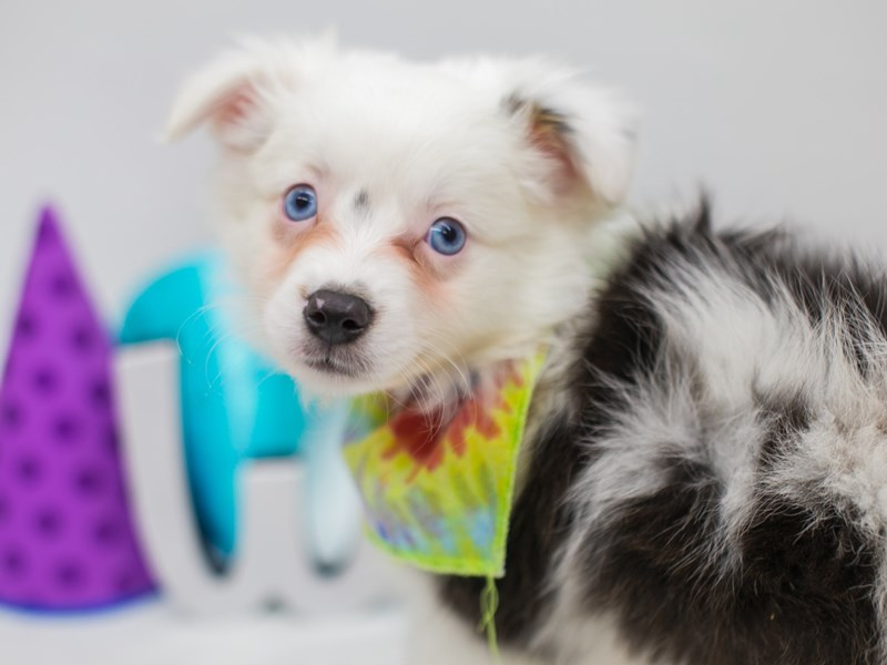Miniature Australian Shepherd-Male-Blue Merle-2700909-Petland Wichita, KS