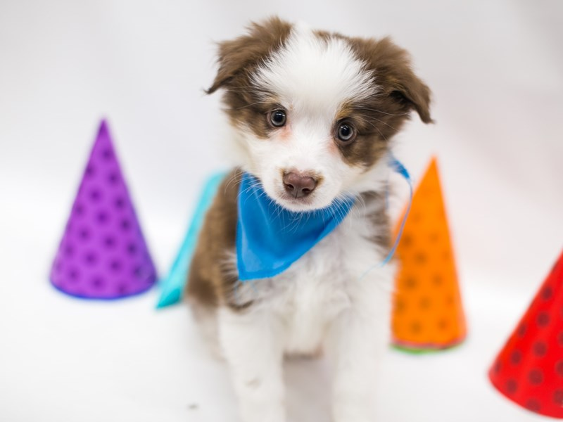 Miniature Australian Shepherd-Male-Red Tri-2700894-Petland Wichita, KS