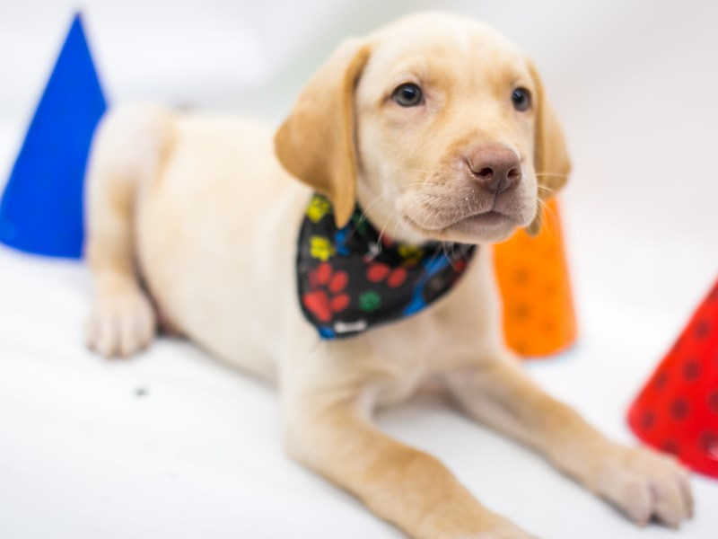 Labrador Retriever-Male-Yellow-2700867-Petland Wichita, KS