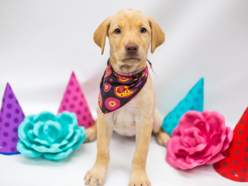 Labrador Retriever-Female-Yellow-2700866-Petland Wichita, KS