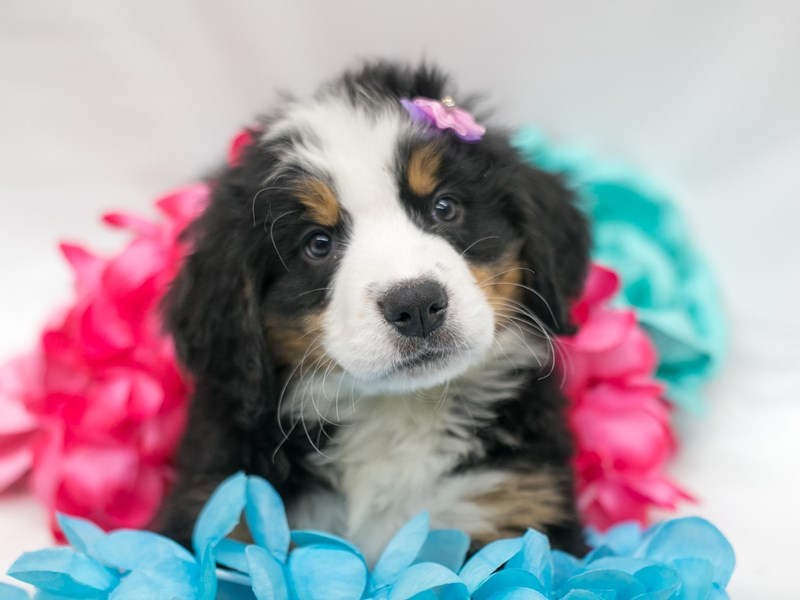 Bernese Mountain Dog-Female-Black Tri-2716135-Petland Wichita, KS