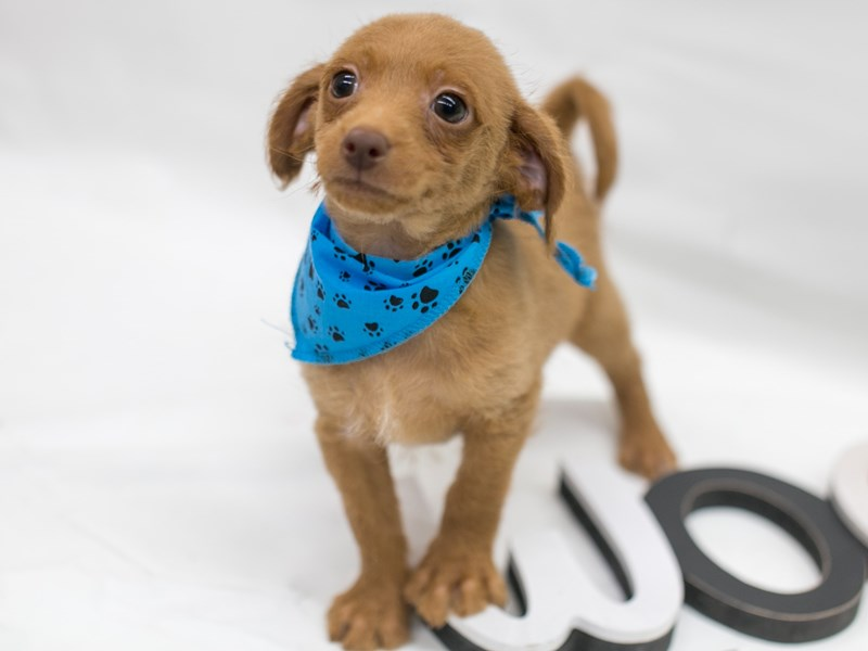 BeagleDoodle-Male-Red-2716061-Petland Wichita, KS
