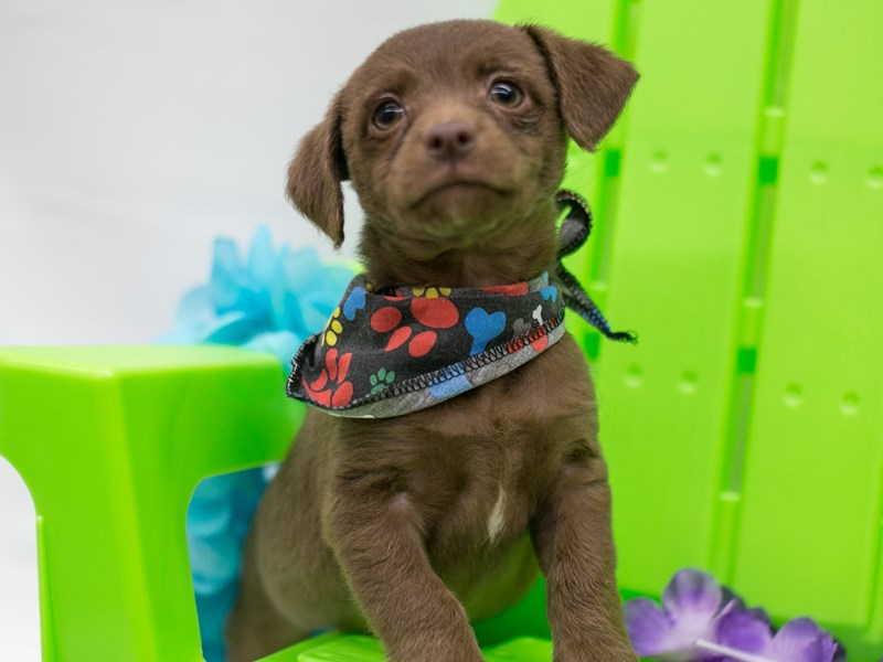 BeagleDoodle-Male-Chocolate-2716060-Petland Wichita, KS