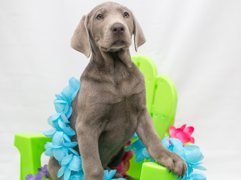 Labrador Retriever-Male-Silver-2715921-Petland Wichita, KS