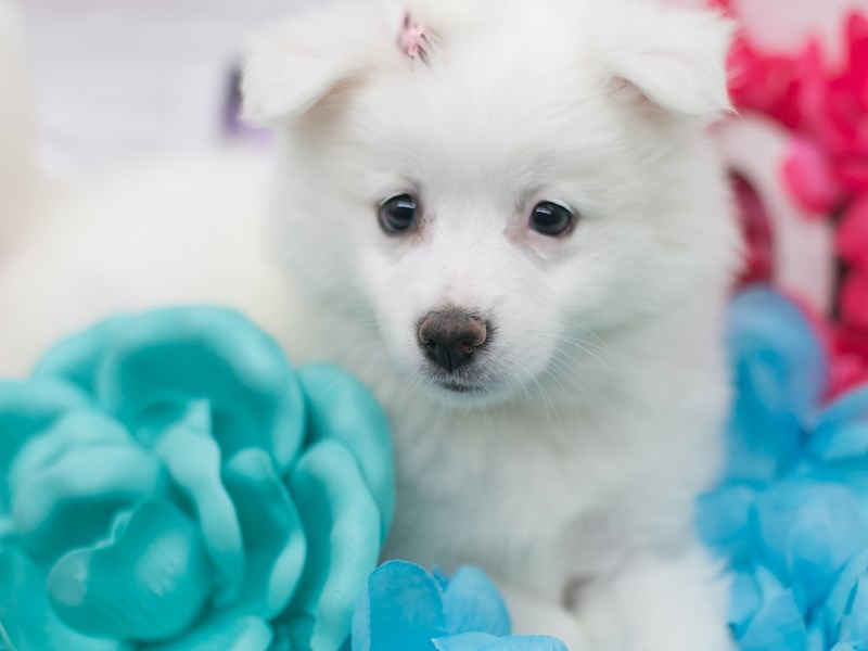 Miniature American Eskimo-DOG-Female-White-2715902-Petland Wichita, KS