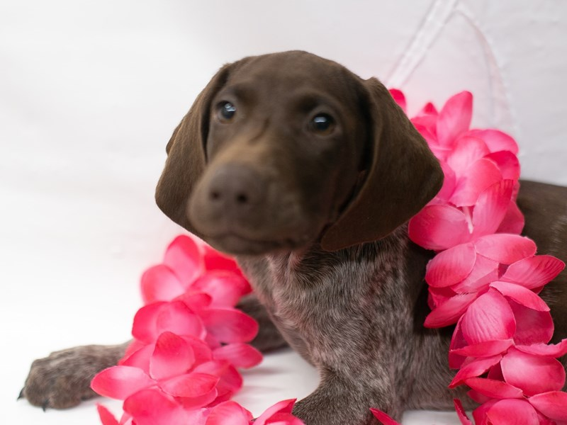 German Shorthair Pointer-Female-Liver & White-2715788-Petland Wichita, KS