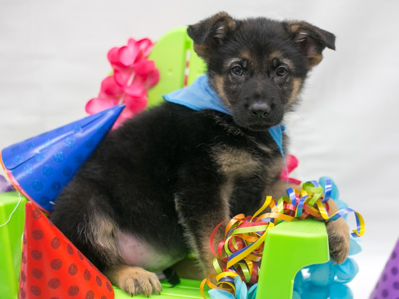 German Shepherd-Male-Black & Tan-2715742-Petland Wichita, KS