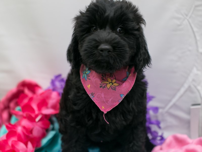 Whoodle-Female-Dark Chocolate-2715694-Petland Wichita, KS