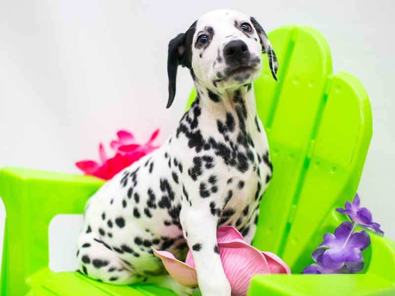 Dalmatian-Female-White & Black-2720655-Petland Wichita, KS