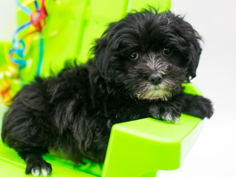 Morkie Poo-Male-Black & White-2720628-Petland Wichita, KS