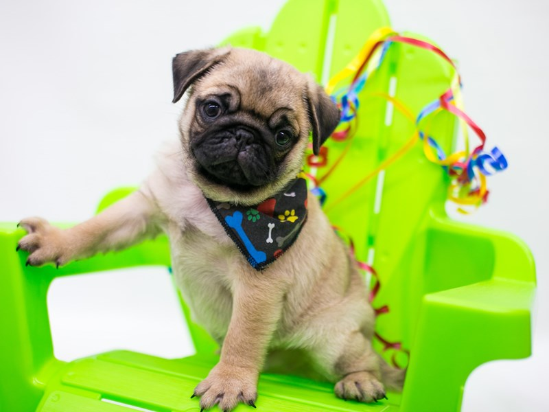 Pug-Male-Fawn-2722349-Petland Wichita, KS