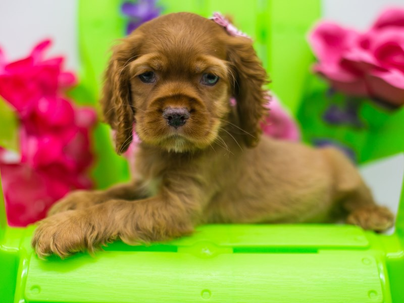 Cocker Spaniel-Female-Red Buff-2720735-Petland Wichita, KS