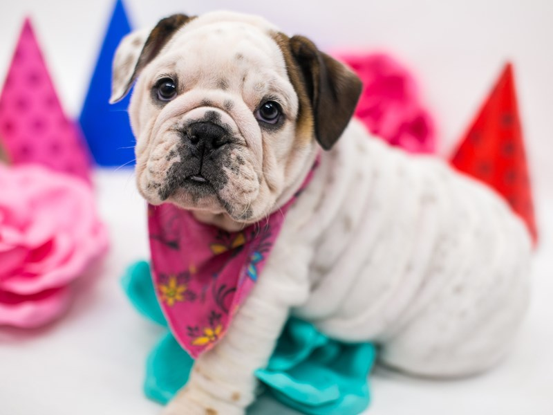 English Bulldog-DOG-Female-White, Red, TKD-2709104-Petland Wichita, KS