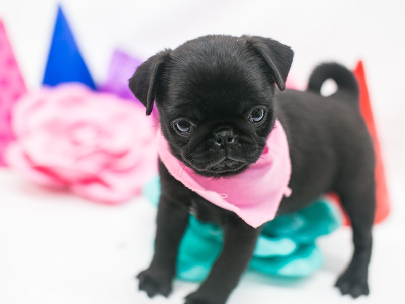 Pug-Female-Black-2709051-Petland Wichita, KS