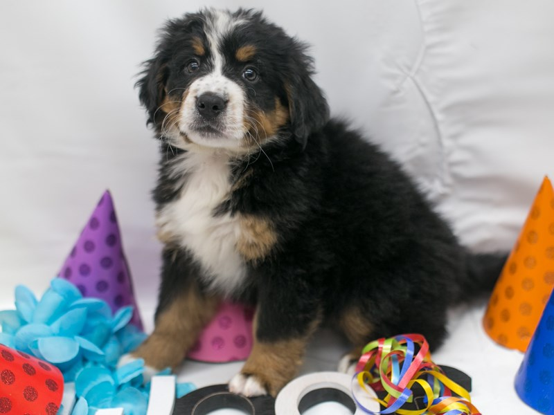 Bernese Mountain Dog-Male-Black Tri-2716130-Petland Wichita, KS