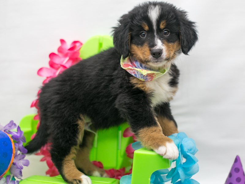 Bernese Mountain Dog-Male-Black Tri-2716126-Petland Wichita, KS