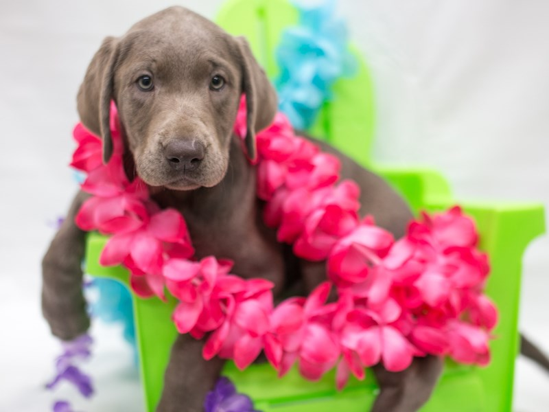 Labrador Retriever-Female-Silver-2715929-Petland Wichita, KS