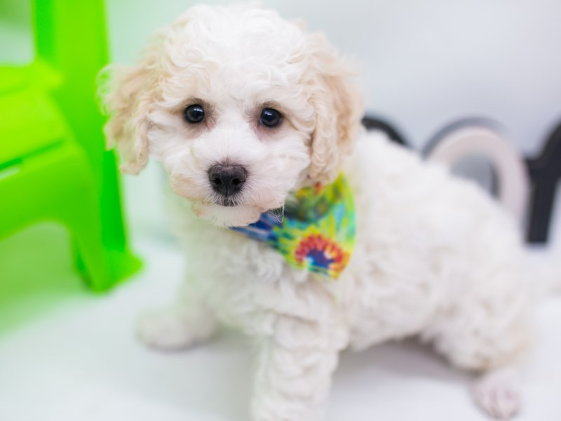 Bichon Frise-Male-White-2720671-Petland Wichita, KS