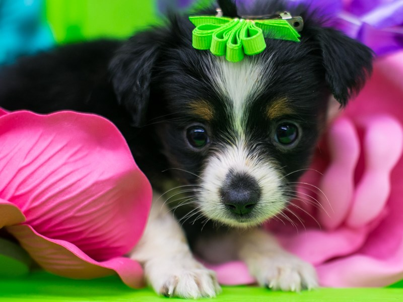 Toy Australian Shepherd-Female-Black Tri-2722421-Petland Wichita, KS