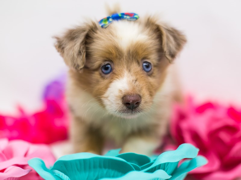 Toy Australian Shepherd-Female-Red Merle-2722409-Petland Wichita, KS