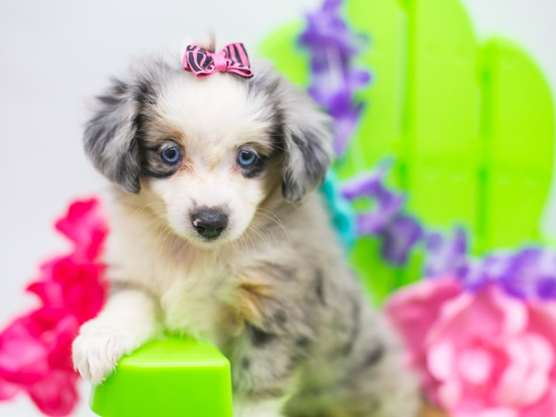 Toy Australian Shepherd-Female-Blue Merle-2722422-Petland Wichita, KS