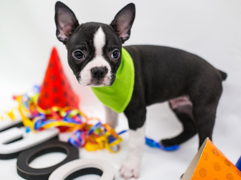 Boston Terrier-Male-Black & White-2720689-Petland Wichita, KS