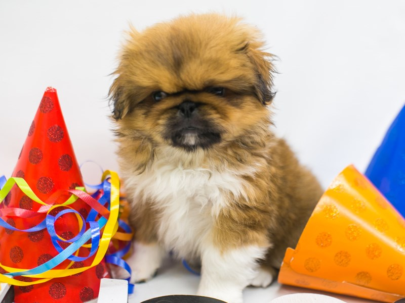 Pekingese-Male-Red Fawn & White-2720644-Petland Wichita, KS