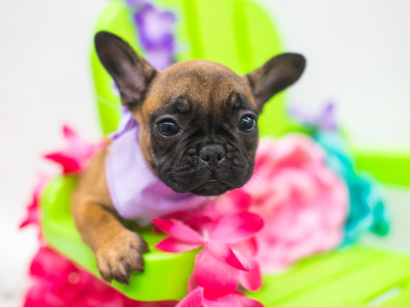 French Bulldog-Female-Red Fawn w/Black Mask-2720637-Petland Wichita, KS