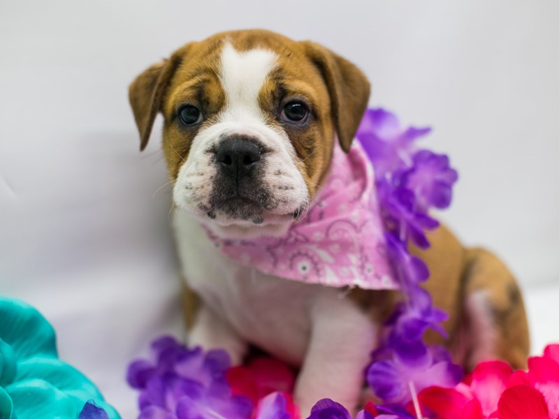 Victorian Bulldog-Female-Brindle & White-2729451-Petland Wichita, KS