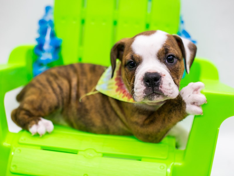 Victorian Bulldog-Male-Brindle & White-2729433-Petland Wichita, KS