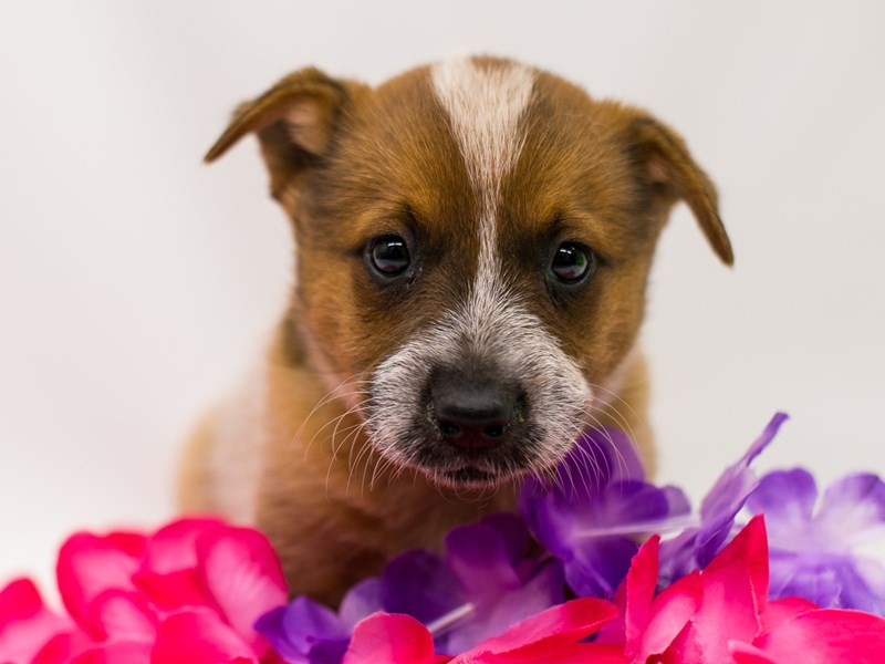 Australian Cattle Dog-Female-Red Heeler-2729421-Petland Wichita, KS