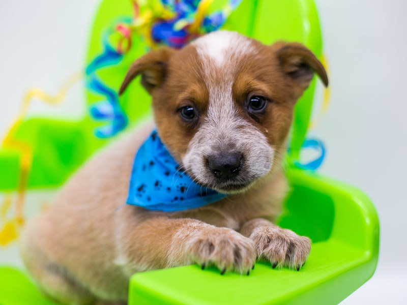 Australian Cattle Dog-Male-Red Heeler-2729411-Petland Wichita, KS