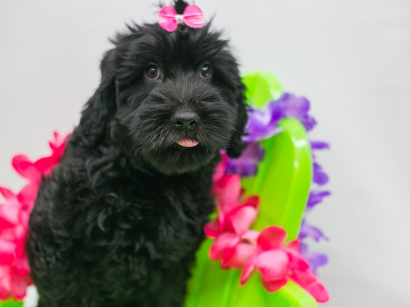 Whoodle-Female-Black-2729107-Petland Wichita, KS