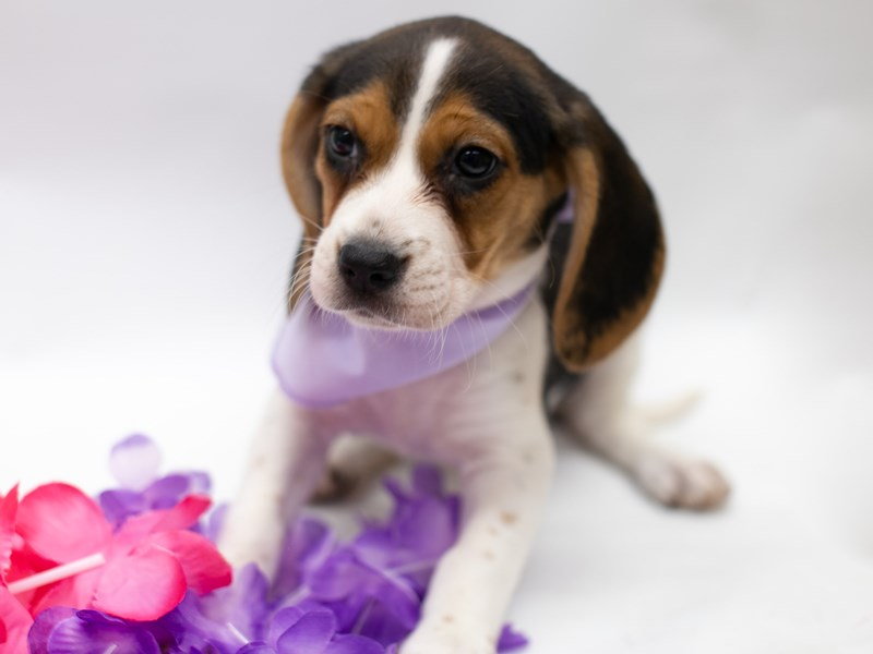 Beagle-Female-Black Tri-2729088-Petland Wichita, KS