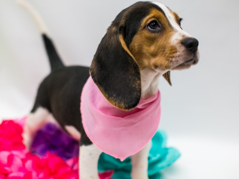 Beagle-Female-Black Tri-2729083-Petland Wichita, KS
