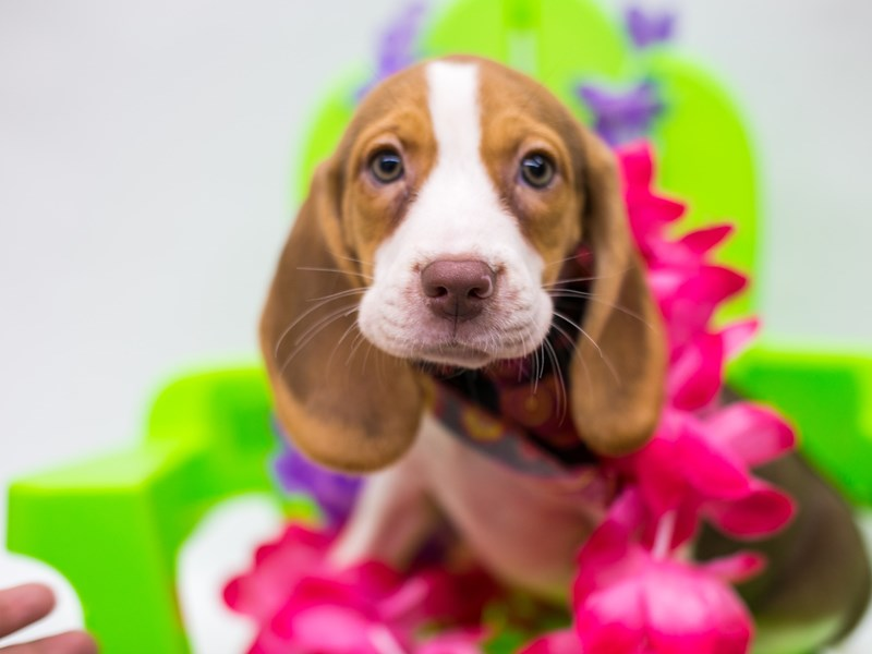 Beagle-Male-Chocolate Tricolor-2729078-Petland Wichita, KS