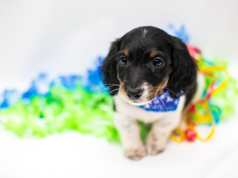 Miniature Dachshund-Male-Black Tri Pibald-2729048-Petland Wichita, KS