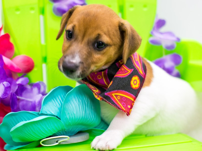 Jack Russell Terrier-Female-Red & White-2729005-Petland Wichita, KS