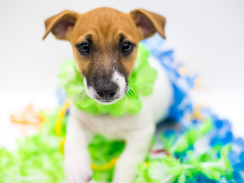 Jack Russell Terrier-Male-Red & White-2728949-Petland Wichita, KS