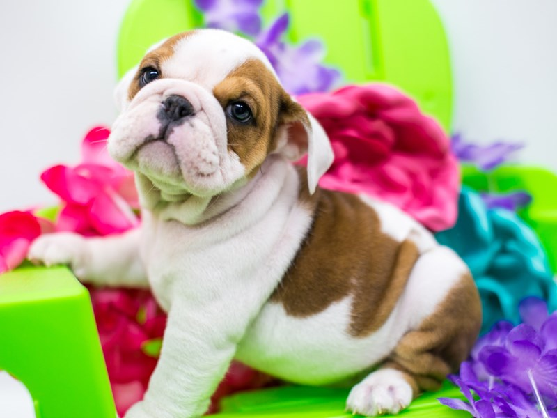 English Bulldog-Female-Red & White-2728923-Petland Wichita, KS